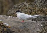 Roseate Tern   Isle of May,Scotland