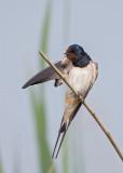 Barn Swallow  Bulgaria