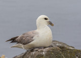 Northern Fulmar    Scotland