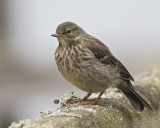 Rock Pipit    Isle of May,Scotland