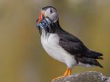 British and European Birds