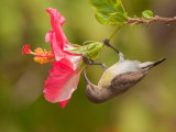 Purple Rumped Sunbird  Kerala