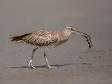 Whimbrel    Gambia