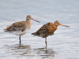 Black-tailed Godwit    Wales