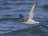 Manx Shearwater  Liverpool Bay