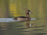 Tufted Duck.jpg