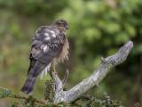 Sparrowhawk   Llandudno