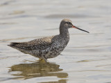 Spotted Redshank   Lesvos,Greece