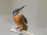 Kingfisher   Bangor,Wales
