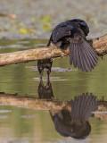 Pygmy Cormorant   Hungary
