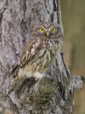 Little Owl      Bulgaria