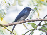 White Bellied Drongo    Sri Lanka