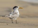 Lesser Crested Tern   Waikkal Sri Lanka