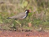 Red-wattled Lapwing   Sri Lanka