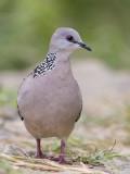 Spotted Dove   Sri Lanka