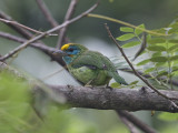 Yellow-fronted Barbet    Sri Lanka