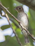 Asian Brown Flycatcher   Sri Lanka