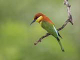 Chestnut-headed Bee-eater     Sri Lanka