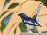 Oriental Magpie Robin    Sri Lanka
