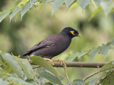 Common Mynah     Sri Lanka