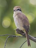 Brown Shrike    Sri Lanka