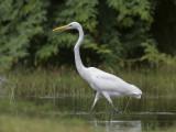 Great White Egret     Sri Lanka