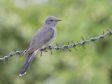 Grey-bellied Cuckoo     Sri Lanka