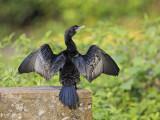Little Cormorant    Sri Lanka