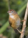 Tawny-bellied Babbler    Sri Lanka