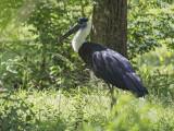 Wooly-necked Stork  Sri Lanka