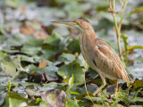Yellow Bittern   Sri Lanka