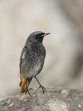 Black Redstart      Wales