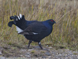 Black Grouse        Wales