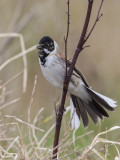 Reed Bunting   Wirral
