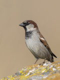 House Sparrow     Wirral