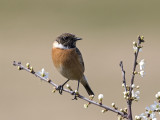 Stonechat     Wirral