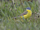 (Blue-headed) Yellow Wagtail     Wales