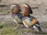 Mandarin Duck    England