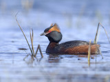 Slavonian Grebe     Iceland