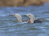 Red-throated Diver    Iceland