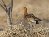 Black-tailed Godwit    Iceland