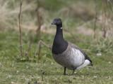 Brent Goose    Iceland
