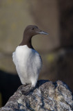 Guillemot  Isle of May,Scotland