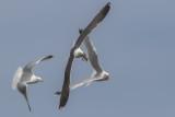 Lesser Black-backed Gull      Scotland