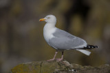 Herring Gull    Scotland
