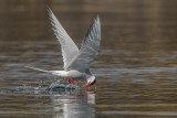 Artic Tern   Scotland