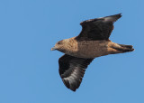 Great Skua      Liverpool Bay, England/Wales