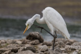 Great White Egret   Wales