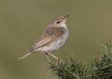 Booted Warbler    Wales