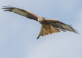 Red Kite  Gigrin Farm, Rhayader